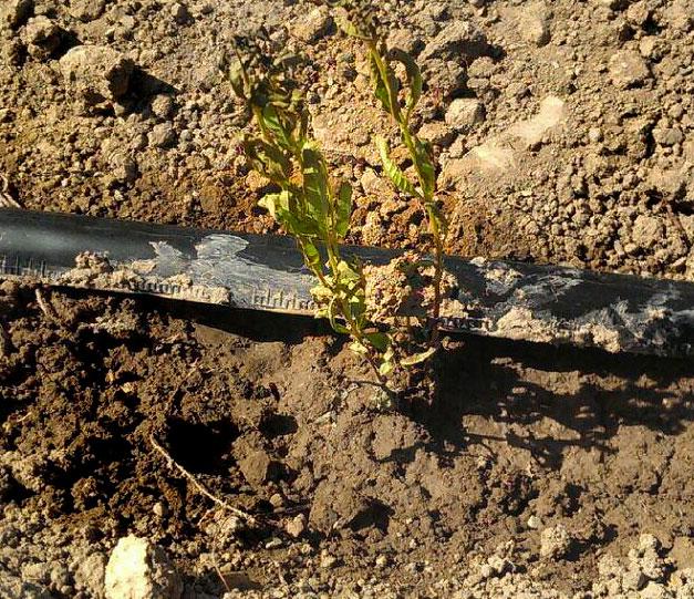 کاشت به لیمو در ایران