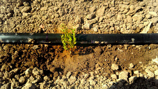 کاشت به لیمو در زمین